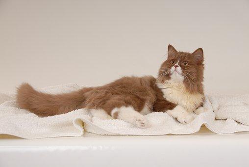 German Longhaired Pointer, Brit, Cat