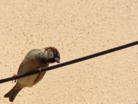 Cable Sparrow, Lookout, Bird