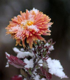 Chrysanthemum, Flower, Red, Frozen, Snow, Winter