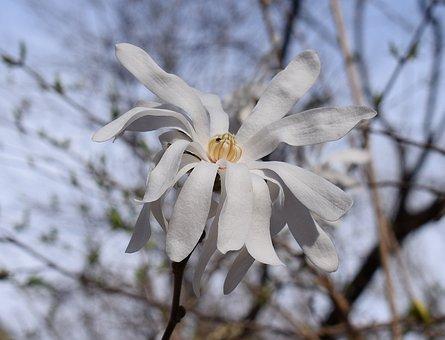 Star Magnolia, Magnolia, Tree, Plant, Garden, Nature