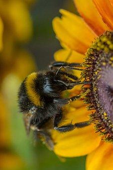 Sun Flower, Hummel, Insect, Summer, Nature, Yellow