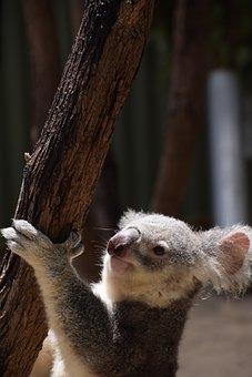 Koala, Climbing, Australia, Wild, Wildlife, Marsupial