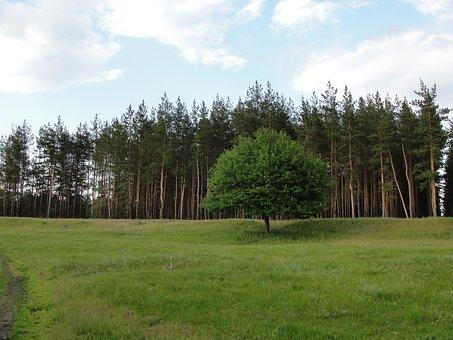 Lawn, Pine, Tree