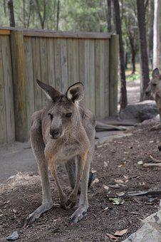 Kangaroo, Australia, Wildlife, Marsupial