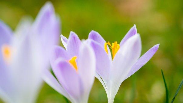 Crocus, Spring, Flowers, Purple, Violet, Meadow, Stamp