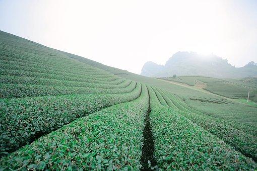 Moc Chau Tea Doi, Moc Chau Hill, Moc Chau - Son La
