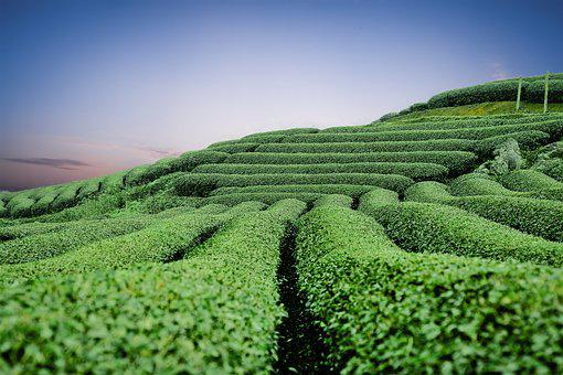 Moc Chau Tea Hills, Green, The Hill, Tea, Moc Chau