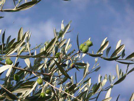 Olive Tree, Oil, Tuscany, Brands, Campaign