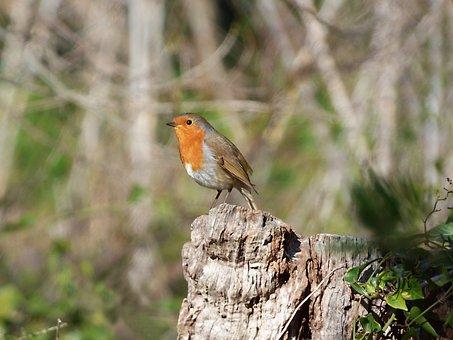 Robin, Bird, Trunk, Pit-roig