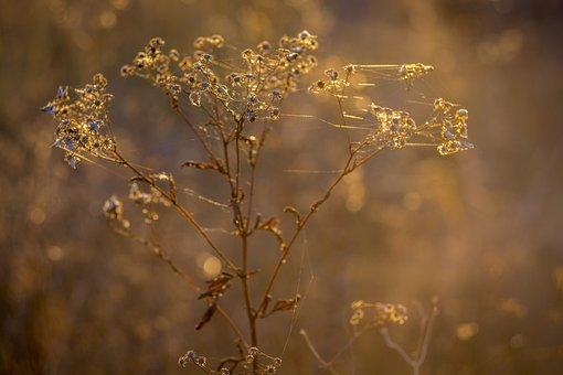 Indian Summer, Spider Web, Autumn, Plant, Inflorescence