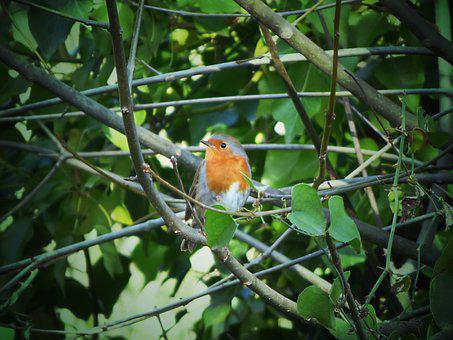 Robin, Leaves, Ivy, Pit-roig, Bird