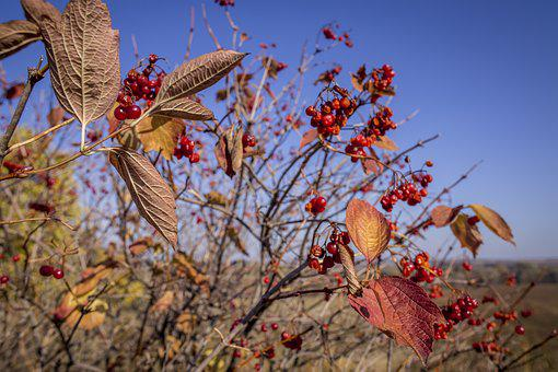 Bush, Tree, Leaves, Berry, Red, Sky, Autumn, Yellow