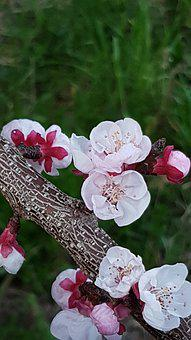 Spring, Flowers, Apricot-tree, Rosa, Pink Flower