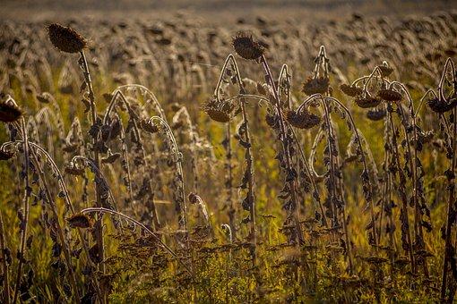 Field, Sunflowers, Sunflower Seeds, Plants, Nature