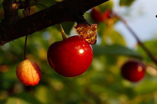 Tree, Ripe, Red, Flower, Summer, Sour, Cherry, Ripen