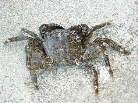 Crab, Arthropoda, Animal, Nature, Arthropods