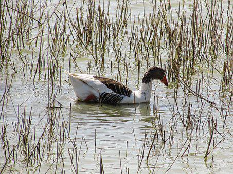 Wild Duck, Bird, Wild, Nature, Wildlife, Lake, Winter