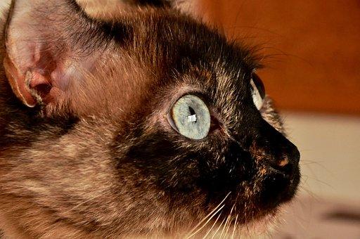 Animal, Beautiful, Brown, Hair, Cat, Cute, Deep, Eyed