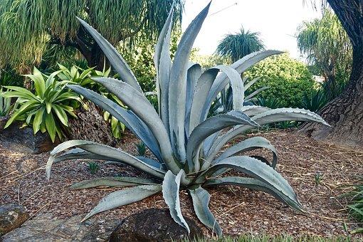Cactus, Broadleaf, Grey, Spiny, Organic, Botany, Leaves