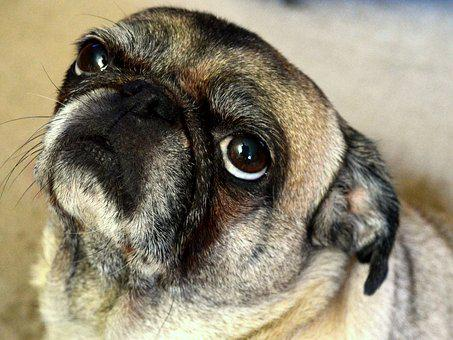 Dog, Pug, Animal, Pet, Funny, Cute, Adorable, Canine