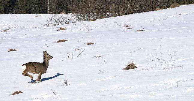 Sarna, Mountains, Escape, Nature, Animal, Winter