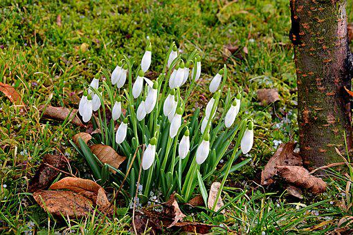 First Frühlingsboten, Snowdrop, February