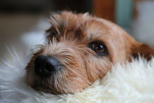 Dog, Animals, Basset, Eyes, Nos, Fur