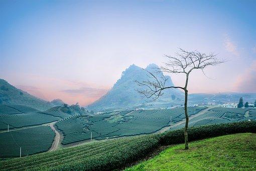 Moc Chau Tea Doi, Moc Chau Hill, Heart Tea Plantation