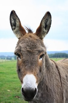 Donkey, Lelkendorf, Gray Donkey, Donkey Head
