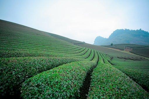 Moc Chau Tea Doi, Moc Chau Hill, Moc Chau Son La
