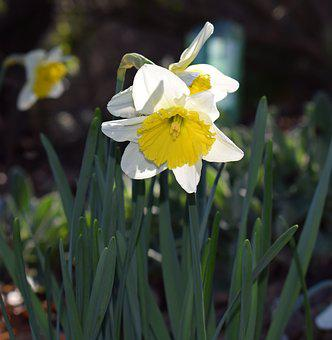 Daffodil, Flower, Blossom, Bloom, Bulb, Garden, Nature