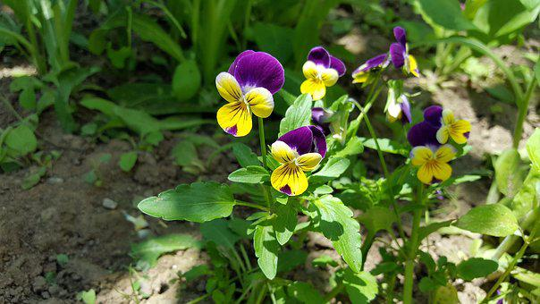 Pansy, Pansy Flower, Viola Tricolor, Pansies