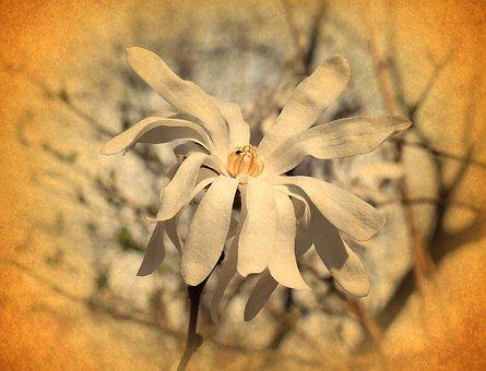 Vintage Star Magnolia, Filter, Magnolia, Tree, Plant