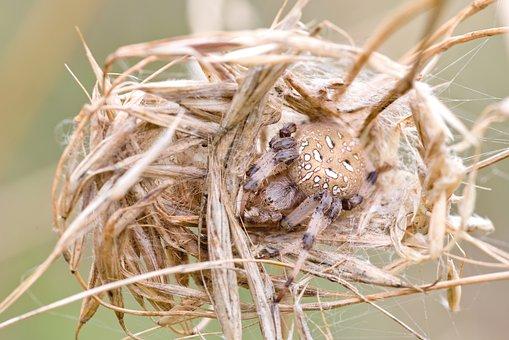 Spider In The Nest, Nature, Macro, Arachnids