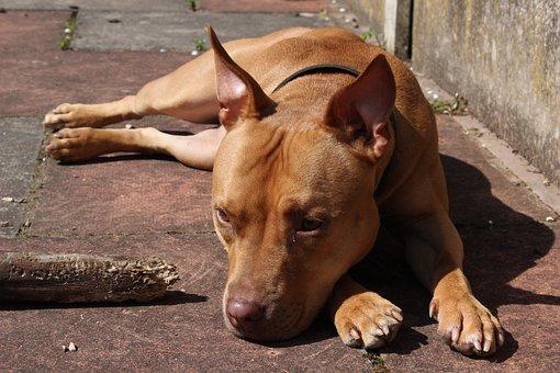 Dog, Pet, Breed, Staffordshire, Doggy