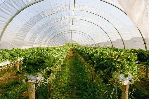 Greenhouse, Plant, Strawberries
