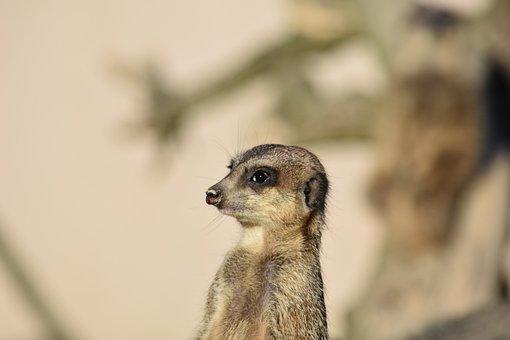 Meerkat, Nature, Mammal, Curious, Vigilant