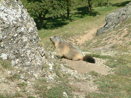Mountain, Marmot, Wildlife, Animals, Alps