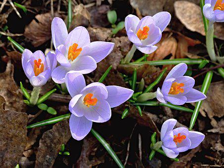 Crocus, Spring, Lenz, Flowers, Early Bloomer, Violet