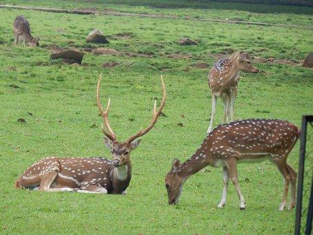 Deer, Park, Bogor, Nature, Wildlife, Mammal, Animal