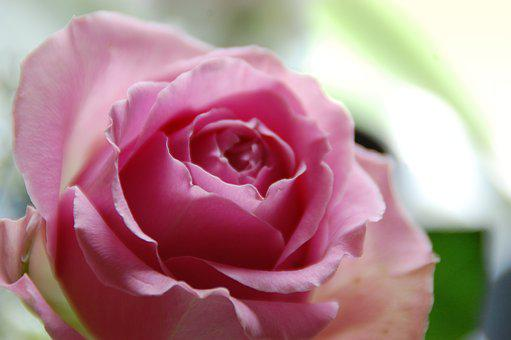 Pink Rose, Ros, Romantically, Color, Roses, Summer