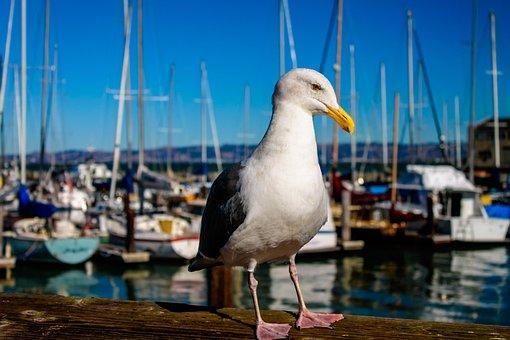 Seagull, Bird, Sf, Jacht, Wildlife, Sea, Feather, Wild