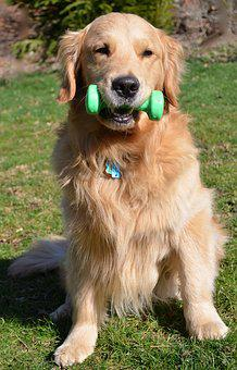Strength, Dog, Golden Retriever, Strong, Exercise