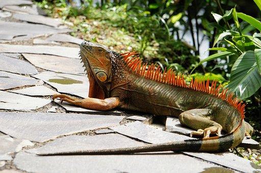 Iguana, Colorful, Sun, Animal, Lizard, Reptile