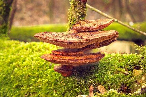 Mushroom, Tree Fungus, Nature, Tree, Forest, Tribe