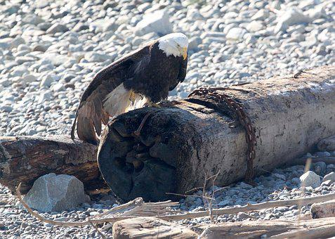 Eagle, Bird, Bald Eagle, Wildlife, Nature, Log, Beach