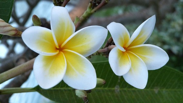 Bali, Flowers, Frangipani, White, Yellow, Nature, Plant