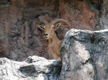 Barbary Sheep, Ammotragus Lervia, Baran, Animal Bovids