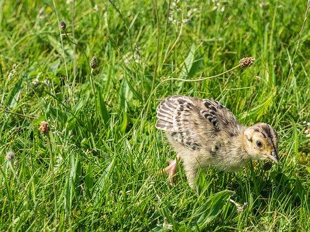 Pheasant, Chicks, Bird, Young Birds, Animal, Young Bird