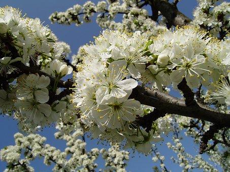 Vessenee, Bloom, Apple Tree